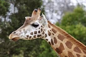 Veszélyben a zsiráf, felkerült a Vörös Listára