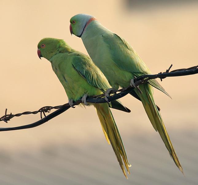 Egzotikus madarak terjednek invazív fajokként az állatkereskedelem miatt