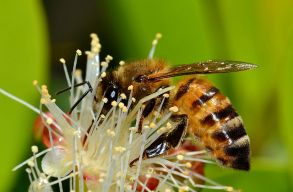 Románia derogálást kér a méhgyilkos neonikotinoidok további használata érdekében