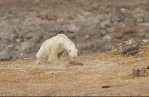 Halálra éhezhetik magukat a klímaváltozás miatt a jegesmedvék
