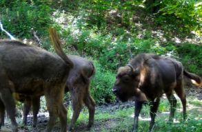 Újabb nyolc bölénnyel szaporodott a hazai szabadon élõ populáció