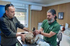 Milvus Egyesület: Megjelent Romániában egy II. világháború után kihalt keselyûfaj