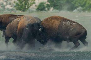 Nem bírnak magukkal a bölények a Neamț megyei Vânãtori Natúrparkban