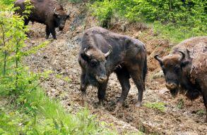 A bölények megeszik az aljnövényzetet, így menthetik meg az erdõket