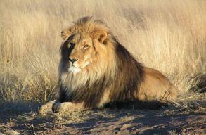 Betiltják az oroszlánok vadászat és simogatás céljából történõ tenyésztését a Dél-afrikai Köztársaságban