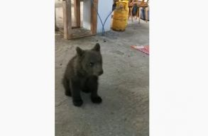 Fogságban tartott medvebocsot talált a rendõrség egy házkutatás során (videó)