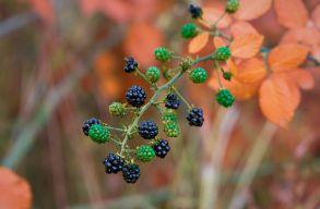 Green Report: iszonyú mennyiségû erdei gyümölcstõl fosztják meg évente a vadállatokat a begyûjtõk