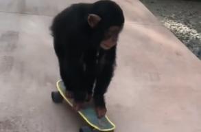 Mi cukibb egy csimpánznál? Hát egy gördeszkázó csimpánz