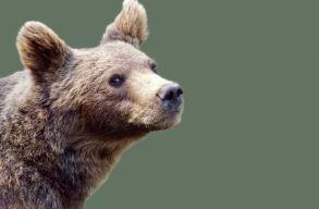 Lõttek egy medvét a csendõrök, otthagyták, de mire visszatértek, eltûnt