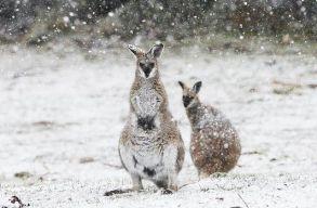 Amikor olvadsz el a kánikulában, gondolj a hóban ugrándozó kengurukra!