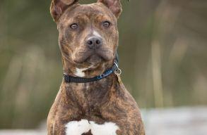 Megölt egy kutyát és gazdáját is megsebesítette egy pitbull Gyulafehérváron