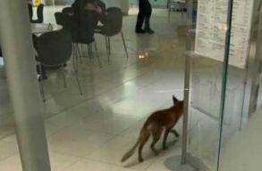 Bekakált egy róka a brit parlamentbe