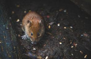 """Elõször bizonyították, hogy érzelmeket fejez ki az egerek """"arca"""""""