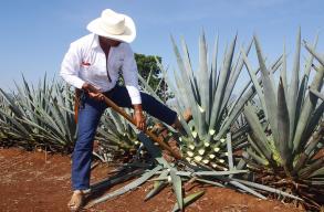 A tequila alapanyagából készítenének bioüzemanyagot ausztrál kutatók