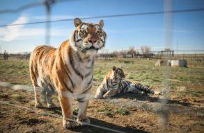 Koronavírussal fertõzõdött meg több tigris New York egyik állatkertjében
