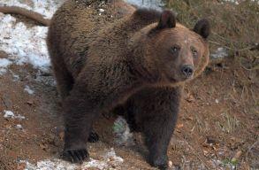 Kilõttek egy medvét Hargita megyében, amely elõzõleg három juhászt támadott meg