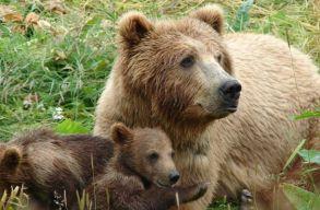 Morcos medvemaminak segítettek a csendõrök és a vadászok megtalálni a kölykeit