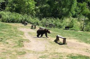 A medvével akart szelfizni a zarándok, akit végül megharapott az állat a Szent Anna-tónál