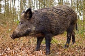 Vaddisznó sebesített meg halálosan egy orvvadászt Szatmár megyében