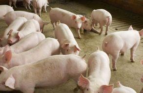 A sertéspestis miatt megelõzõ intézkedéseket vezetnek be Hargita megyében