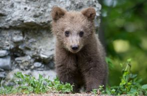 Konténerben rekedt medvebocsot szabadítottak ki Tusnádfürdõn
