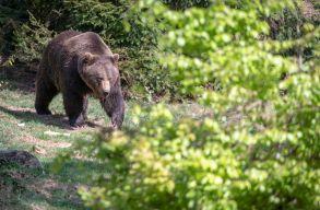 A rendõrség szerint a kõrispataki medvetámadás áldozata ingerelte az állatot