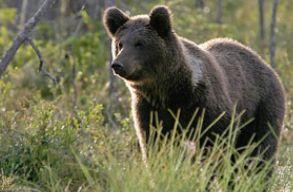 Újabb medvetámadásról számolt be Borboly Csaba
