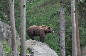 Lengyel turistára támadt egy medve a Radnai-havasokban