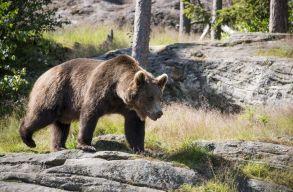 Ismét medvéket kergettek a székelyföldi csendõrök az éjszaka