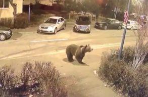 Egy felnöttet és két gyereket támadott meg nappal a medve egy Brassó megyei városban