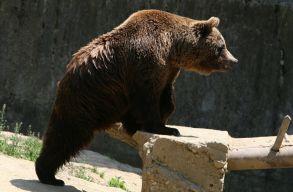 Két medvét is elütöttek csütörtök este Maros megyében