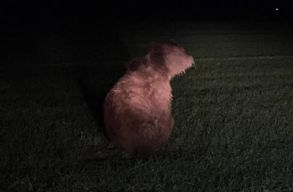 Elaltatták a kedden reggel Kovászna megyében elgázolt medvét