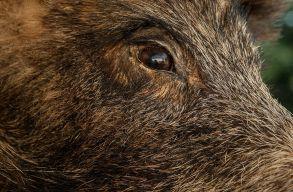 Afrikai sertéspestissel fertõzött vaddisznóra bukkantak Maros megyében