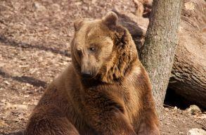 Tizenegy birkát ölt meg a medve egy Hargita megyei háztáji gazdaságában