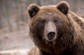 Medvéhez riasztották a csendõröket az éjszaka Gyergyószentmiklóson