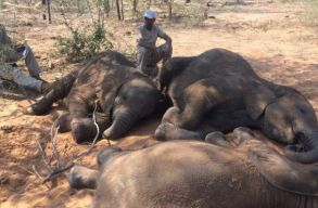 Csaknem 90 elefánttetemet találtak egy afrikai vadrezervátumban