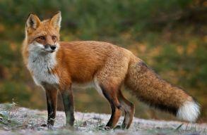 A sertéspestis miatt kiirtanák a hazai rókák több mint felét és a sakálok közel háromnegyedét