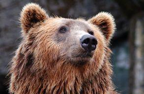 Elütött egy autó egy medvét Hargita megyében
