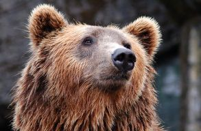 A hétvégén hatszor riasztották a hatóságokat medvék miatt Hargita megyében