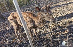 Bezárják a temesvári állatkertet, miután egy szarvasról készült kép sokakat felháborított