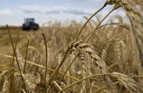 Rekord mennyiségû gabona és kukorica termett az idén