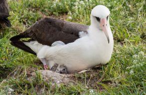 A világ legöregebb madara újabb fiókának adott életet