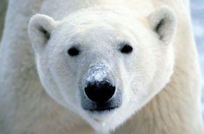 Jegesmedve-invázió miatt szükségállapotot hirdettek Oroszország legészakibb vidékén