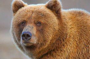 Kilõnék azt a medvét, amelyik méhkaptárakat tett tönkre Marosvásárhelyen
