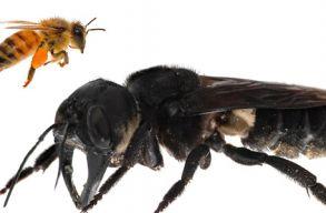Újra felbukkant a világ legnagyobb, 38 éve kihaltnak vélt méhfaja