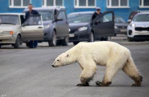 Orosz iparvárosba tévedt egy éhezõ jegesmedve