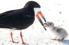 Fiókáját csikkel etetõ madarat fényképeztek egy floridai tengerparton