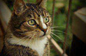 Évi több mint 2 milliárd hüllõvel, madárral és kistestû emlõssel végeznek a házi macskák Ausztráliában