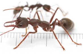 Valaki postai csomagban küldött 12 élõ hangyát Ausztráliából Kínába