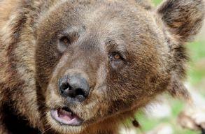 Kilövési engedélyt adtak a Csíkpálfalván garázdálkodó medvére